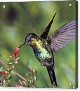 Fiery-throated Hummingbird Panterpe Acrylic Print