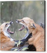 Fight For Dominance Acrylic Print