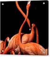 Fighting Flamingos Acrylic Print