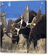 Fighting Moose Acrylic Print