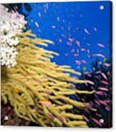 Fijian Reef Scene Acrylic Print