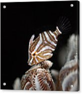 File Fish Acrylic Print