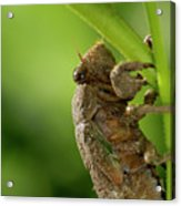Final Instar Of A Cicada Emerging From The Ground To Molt On A L Acrylic Print
