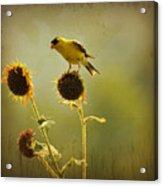 Finch 1 Acrylic Print