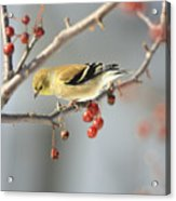 Finch Eyeing Seeds Acrylic Print