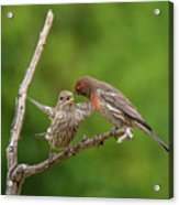 Finch Feeding Time I Acrylic Print