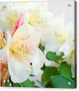 Fine Art Florals Prints White Pink Rhodies Rhododendrons Baslee Troutman Acrylic Print