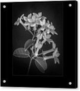 Fine Art Framed Study Of Estephanotis- Acrylic Print