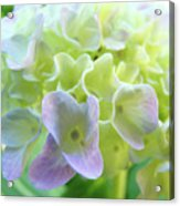 Fine Art Prints Hydrangeas Floral Nature Garden Baslee Troutman Acrylic Print