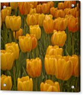 Fine Lines In Yellow Tulips Acrylic Print