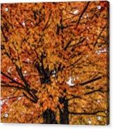 Fine Wine Cafe Golden Tree Acrylic Print