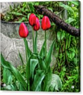 Fine Wine Cafe Red Tulips Acrylic Print