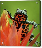 Fire-bellied Toad Acrylic Print