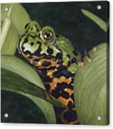 Fire Belly Toad Acrylic Print