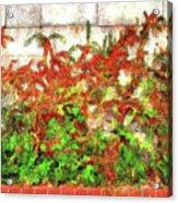 Fire Thorn - Pyracantha Acrylic Print