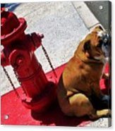 Fireplug Bulldog Acrylic Print