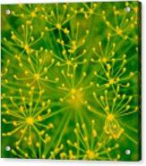 Fireworks Of Dill Flowers Acrylic Print