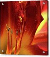 Firey Lily Acrylic Print