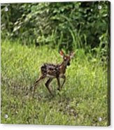 First Baby Fawn Of The Year Acrylic Print