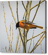 First Baltimore Oriole Of The Year  Acrylic Print