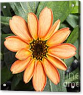 First Flower Grown Aboard Iss Acrylic Print
