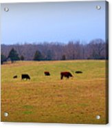 First Nibbles Of Grass Acrylic Print