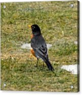 First Robin Of Spring Acrylic Print