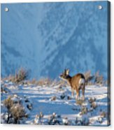 First Rut Mule Deer Buck Acrylic Print
