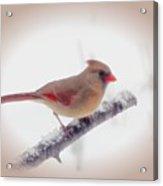 First Snow - Female Cardinal Bird With Vignette Acrylic Print