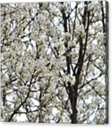First Spring Blossom Acrylic Print