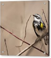 First Warbler Back Yellow Rumped Warbler Acrylic Print