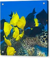 Fish Cleaning Turtle Acrylic Print by Dave Fleetham - Printscapes