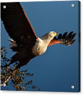 Fish Eagle Taking Flight Acrylic Print