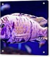 Calico Goldfish Acrylic Print