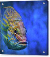 Fish Frown Story Acrylic Print