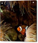 Fish In Sea Anemones Aquarium Acrylic Print
