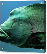 Fish Lips Acrylic Print