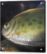 Fish Reflection Acrylic Print