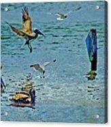 Fishing Pelican And Seagulls Acrylic Print