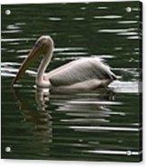 Fishing Pelican  Acrylic Print