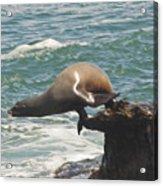 Fishing Sea Lion Acrylic Print