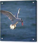 Fishing Tern Acrylic Print