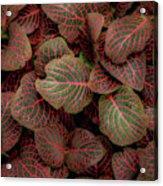 Fittonia Acrylic Print