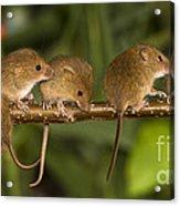 Five Eurasian Harvest Mice Acrylic Print