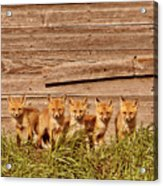 Five Fox Kits By Old Saskatchewan Granary Acrylic Print