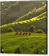 Five Ladies In Rice Fields Acrylic Print