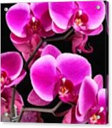 Five Orchids  Acrylic Print