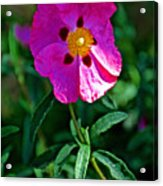 Orchid Rock Rose At Pilgrim Place In Claremont-california  Acrylic Print
