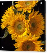Five Sunflowers Acrylic Print