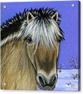 Fjord Pony Acrylic Print